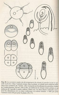 embryo2