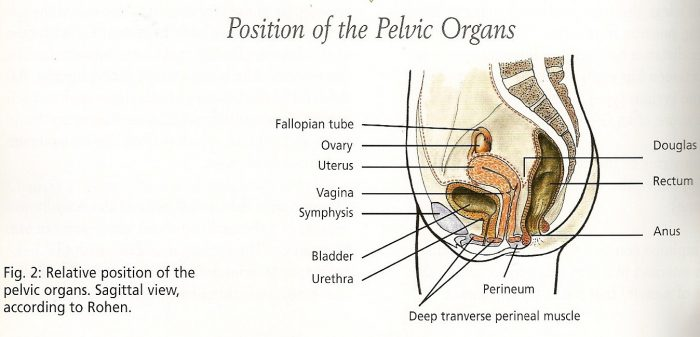 positionpelvicorgans